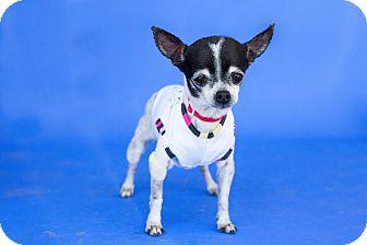 Chihuahua Mix Dog for adoption in Tehachapi, California - Peke