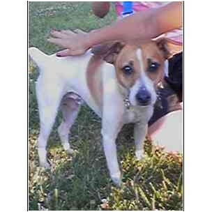 Jack Russell Terrier Dog for adoption in Powell, Ohio - Starsky