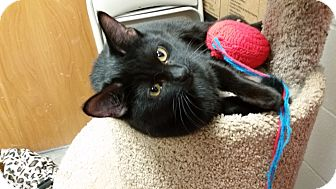 Domestic Shorthair Kitten for adoption in East Hartford, Connecticut - Sprinkle--in CT
