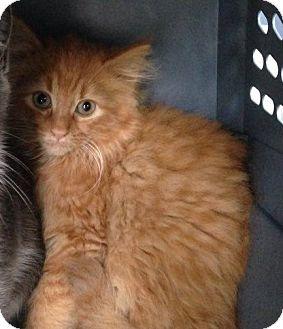 Domestic Mediumhair Kitten for adoption in Gainesville, Florida - Kitty Purry