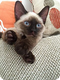 Siamese Kitten for adoption in Atlanta, Georgia - Simon