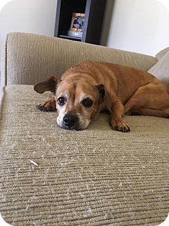 Pug/Beagle Mix Dog for adoption in Anaheim, California - Minnie