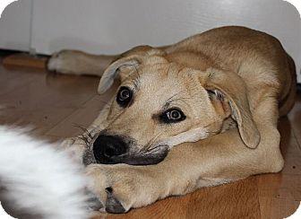 Anatolian Shepherd/Labrador Retriever Mix Puppy for adoption in Austin, Texas - JoJo