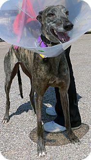 Greyhound Dog for adoption in Tucson, Arizona - Cossette