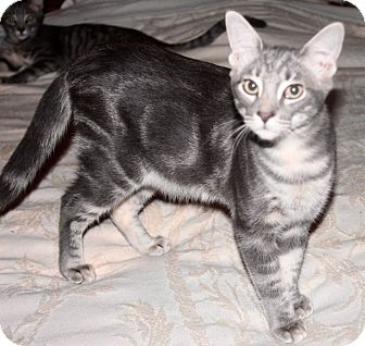 Domestic Shorthair Kitten for adoption in Saint Augustine, Florida - Lenny