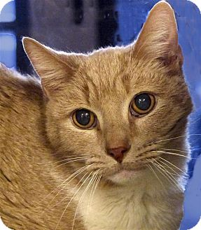 Domestic Mediumhair Cat for adoption in Sedona, Arizona - Fritz