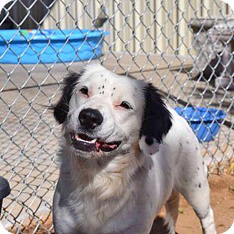 Australian Shepherd Mix Dog for adoption in Sierra Vista, Arizona - Mitzi