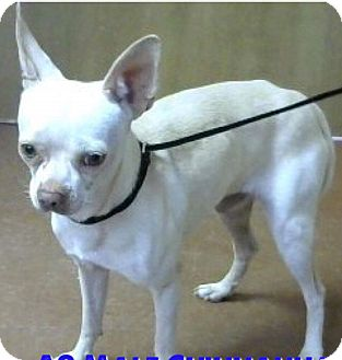 Chihuahua Dog for adoption in Wytheville, Virginia - Ghost