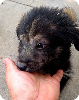 Pit Bull Terrier/German Shepherd Dog Mix Puppy for adoption in Corona, California - Kevin Patrick Compton Puppy