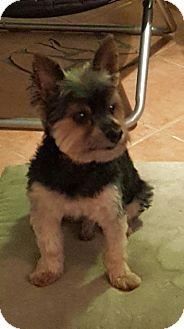 Yorkie, Yorkshire Terrier Dog for adoption in Rigaud, Quebec - Snickers
