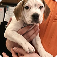 Adopt A Pet :: Br Litter - Colby - APPLICATIONS CLOSED - Livonia, MI