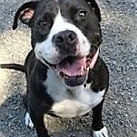 Adopt A Pet :: BOSTON - Energetic girl! - Seattle, WA