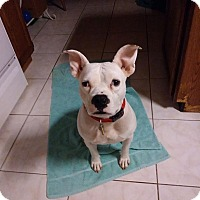 Adopt A Pet :: Ray - Pinellas Park, FL