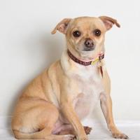 Adopt A Pet :: Bella - Medford, OR