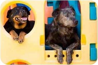 Rottweiler/Australian Shepherd Mix Dog for adoption in Portland, Oregon - Dolly & Cosmo