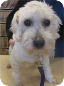 Bichon Frise Mix Dog for adoption in La Costa, California - Pogo