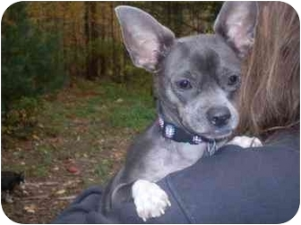 Chihuahua Mix Dog for adoption in Foster, Rhode Island - Hampton