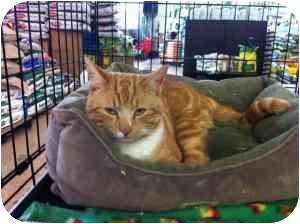 Domestic Shorthair Cat for adoption in Frenchtown, New Jersey - Harley
