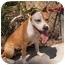 Photo 2 - Pit Bull Terrier Mix Dog for adoption in El Cajon, California - Bongo