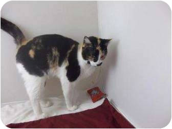 Domestic Shorthair Cat for adoption in North Charleston, South Carolina - Belle