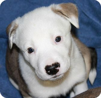 Labrador Retriever/Border Collie Mix Puppy for adoption in Greeley, Colorado - Eagle
