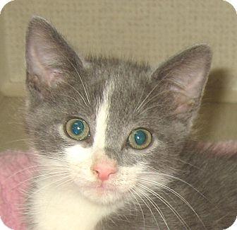 Domestic Shorthair Kitten for adoption in Hamilton, New Jersey - PETER