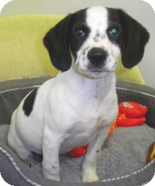 Hound (Unknown Type)/English Pointer Mix Puppy for adoption in Lincolnton, North Carolina - Tonka