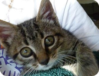 Domestic Shorthair Kitten for adoption in Kensington, Maryland - Sawyer