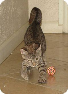 Domestic Shorthair Kitten for adoption in Edmond, Oklahoma - Sheffield