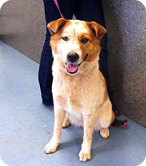 Australian Shepherd Mix Dog for adoption in Burlington, New Jersey - Abby