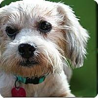 Adopt A Pet :: Shila - New Milford, CT