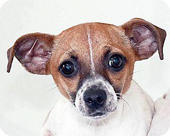 Rat Terrier Mix Puppy for adoption in Berkeley, California - Josey