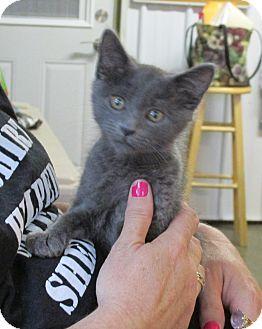 Domestic Shorthair Kitten for adoption in Marseilles, Illinois - Maribelle