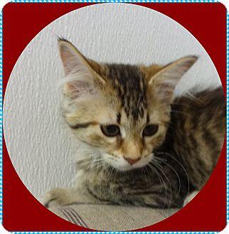 Domestic Mediumhair Kitten for adoption in Mt. Prospect, Illinois - Rhonda
