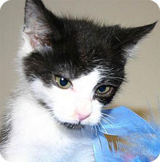 Domestic Shorthair Kitten for adoption in Salem, Oregon - Dot (foster)