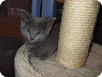 Russian Blue Kitten for adoption in Lenexa, Kansas - Prince Charming