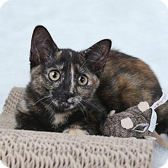 Domestic Shorthair Kitten for adoption in Wilmington, Delaware - Kipper