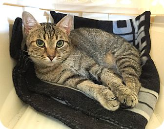 Domestic Shorthair Cat for adoption in Wilmington, Delaware - Fay