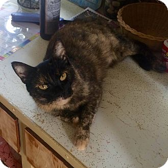 Domestic Shorthair Cat for adoption in Clarksville, Indiana - Blossom
