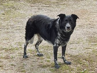 Border Collie/Cattle Dog Mix Dog for adoption in Holden, Missouri - Pete