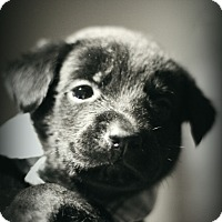 Adopt A Pet :: Moses - Fredericksburg, VA
