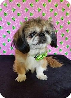 Pekingese Mix Dog for adoption in Pluckemin, New Jersey - Bijou