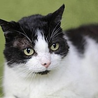 Domestic Shorthair Cat for adoption in Raleigh, North Carolina - Goulet