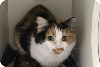 Domestic Mediumhair Cat for adoption in Greensboro, North Carolina - Fluffy