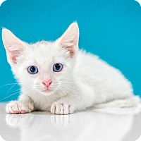 Adopt A Pet :: Mensch - Chandler, AZ