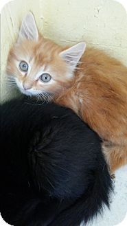 Maine Coon Kitten for adoption in syracuse, New York - Bobby