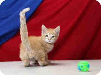 Domestic Shorthair Kitten for adoption in Brea, California - HARVEY