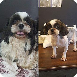 Shih Tzu Dog for adoption in Urbana, Ohio - Kekeke Korea