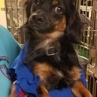 Adopt A Pet :: Clifton - Tulsa, OK
