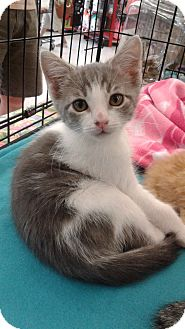 Domestic Shorthair Kitten for adoption in Alamo, California - Oswald
